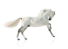 Cheval gris d'akhal-teke d'isolement Images stock