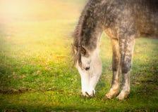 Le cheval gris frôlent sur la lumière du soleil sur le pâturage Image stock
