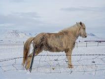 Le cheval islandais fait pipi sur la neige Image libre de droits