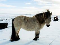 Le cheval islandais se tient sur la neige Images stock