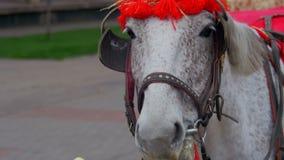 Le cheval mange Apple avec une main humaine banque de vidéos
