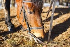Le cheval mange au printemps la première herbe dans la forêt après neige photos libres de droits