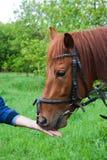 Le cheval mange du pain Photo libre de droits