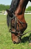 Le cheval mange l'herbe Images libres de droits