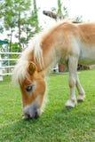 le cheval mangent Photo libre de droits