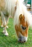 le cheval mangent Image libre de droits