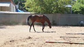 Le cheval marche dans le pré banque de vidéos