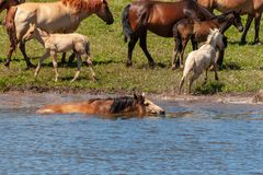 Le cheval nage dans l'eau Chevaux à l'endroit d'arrosage La Bachkirie photographie stock