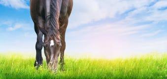 Le cheval noir est frôlé sur le pré ensoleillé, bannière photo libre de droits