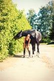Le cheval noir mangeant le buisson part près du cavalier de jeune dame Photographie stock libre de droits