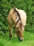 Le cheval norvégien frôle devant une haie Photo libre de droits