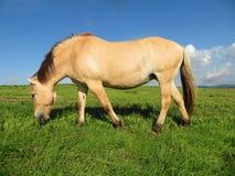 Le cheval norvégien frôle gratuit dans un pré Photos libres de droits