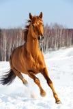 Le cheval rouge exécute l'avant en hiver Photo stock
