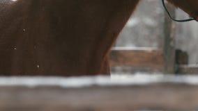 Le cheval rouge mange le foin au pré neigeux banque de vidéos
