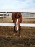 Le cheval rouge se penche  Photo stock