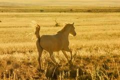 Le cheval sauvage galope majestueux dans le désert au coucher du soleil Images stock