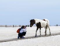 Le cheval sauvage rencontre le photographe Image libre de droits