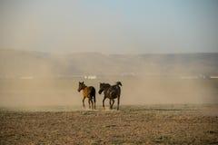 Le cheval sauvage vit en troupe le fonctionnement, kayseri, dinde photographie stock
