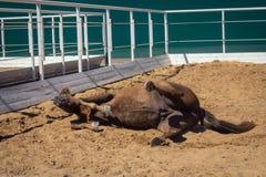 Le cheval se situe dans le sable - reposez-vous après travail photographie stock libre de droits