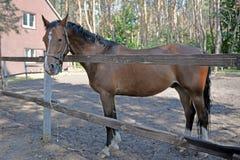 Le cheval se tient derrière la barrière à la ferme Photos stock