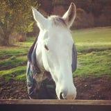 Le cheval tachettent le pays gris de champ Photographie stock