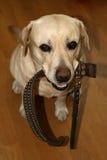 Le chiamate del cane da camminare fotografia stock libera da diritti