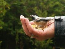 Le Chickadee obtient une graine Images stock