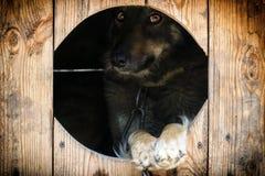 Le chien à chaînes piaule mystérieusement hors du chenil photo libre de droits