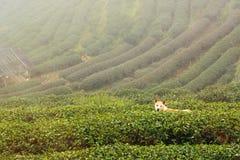Le chien à la plantation de thé 2000 pendant le matin un jour brumeux Tha Photographie stock