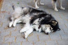 Le chien a été enchaîné en dehors de la maison pour l'empêcher pour mordre le peop Photographie stock libre de droits