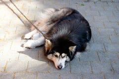 Le chien a été enchaîné en dehors de la maison pour l'empêcher pour mordre le peop Images stock