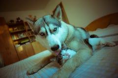 Le chien étreint un chat Chiot enroué aux yeux bleus mignon et Photographie stock