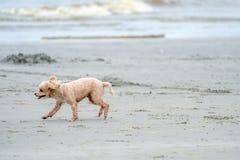 Le chien actif heureux de magma fonctionne et saute autour sur la plage de BangSean dans la province Tha?lande de Chonburi photo libre de droits