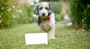 Le chien adopté noir et blanc mignon Photos libres de droits