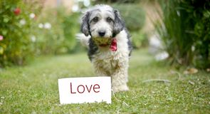 Le chien adopté noir et blanc mignon Photographie stock