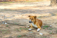 Le chien apprivoisé s'est trouvé sur le plancher poussiéreux en Thaïlande photos stock