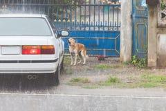 Le chien attend le propriétaire pour ouvrir la porte tandis que la pluie tombe image stock