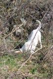 Le chien aux cheveux courts d'Istrian chasse des souris de champ Photos stock