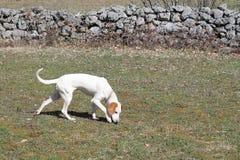Le chien aux cheveux courts d'Istrian chasse des souris de champ Images libres de droits