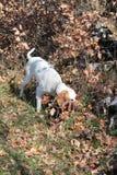 Le chien aux cheveux courts d'Istrian chasse des souris de champ Image libre de droits