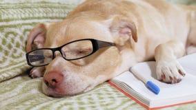 Le chien avec des verres r?serve vieux d'isolement par ?ducation de concept banque de vidéos