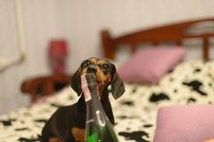 Le chien avec un champagne Image libre de droits