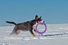 Le chien avec un jouet fonctionne Images stock
