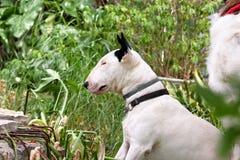 Le chien blanc de bull-terrier anglais pose en portrait animal extérieur de jardin, bel environnement naturel Photographie stock