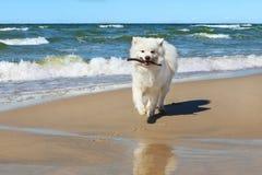 Le chien blanc de Samoyed fonctionne près de la mer avec un bâton dans sa bouche photos stock