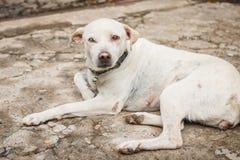 Le chien blanc est mon meilleur ami Il est aveugle dans un oeil Photo stock
