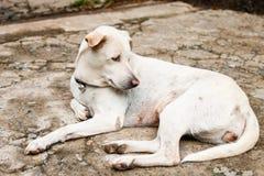 Le chien blanc est mon meilleur ami Il est aveugle dans un oeil Image stock