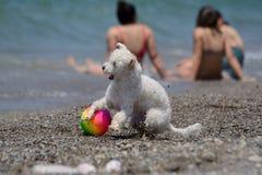 Le chien blanc joue avec une boule sur la plage Photo libre de droits