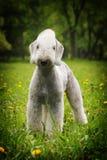 Le chien blanc, le Bedlington Terrier se tient pendant l'été Images stock