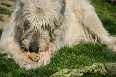 Le chien blanc menteur de chien-loup irlandais mange l'os sur l'herbe Le chien adulte heureux ronge un os dans le jardin sur la p Photographie stock